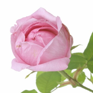 Rose - AROMA SPRAY 30ml
